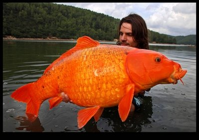 Biggest Gold Fish